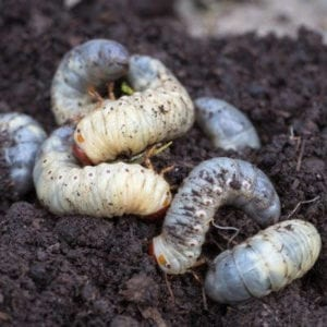 Grub control is an essential part of summer lawn care here in Whitehouse, OH.