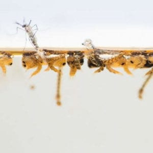 Mosquito larvae can reach adulthood in a week, making sumer mosquito control essential.