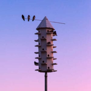 Purple martins are some of the best hunters around and they live in very unique birdhouses; these agile birds can help you out with your summer mosquito control.