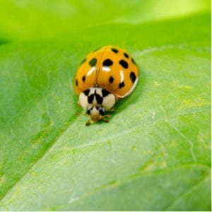 The Asian lady beetle is just one of the many fall pests trying to infest your Whitehouse, OH home this fall.