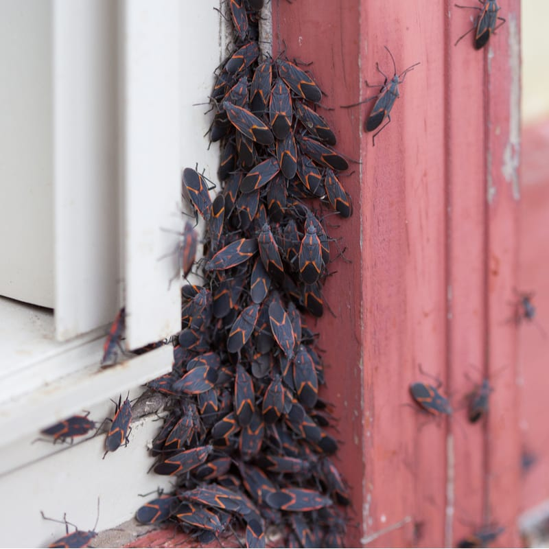 Box elder bugs and other fall pests want to infest your Waterville, OH house this fall, call Land-Art today to stop them!