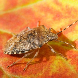 Don't let the brown marmorated stink bug, or other fall pests, infest your Toldeo, OH home this fall, call Land-Art today.