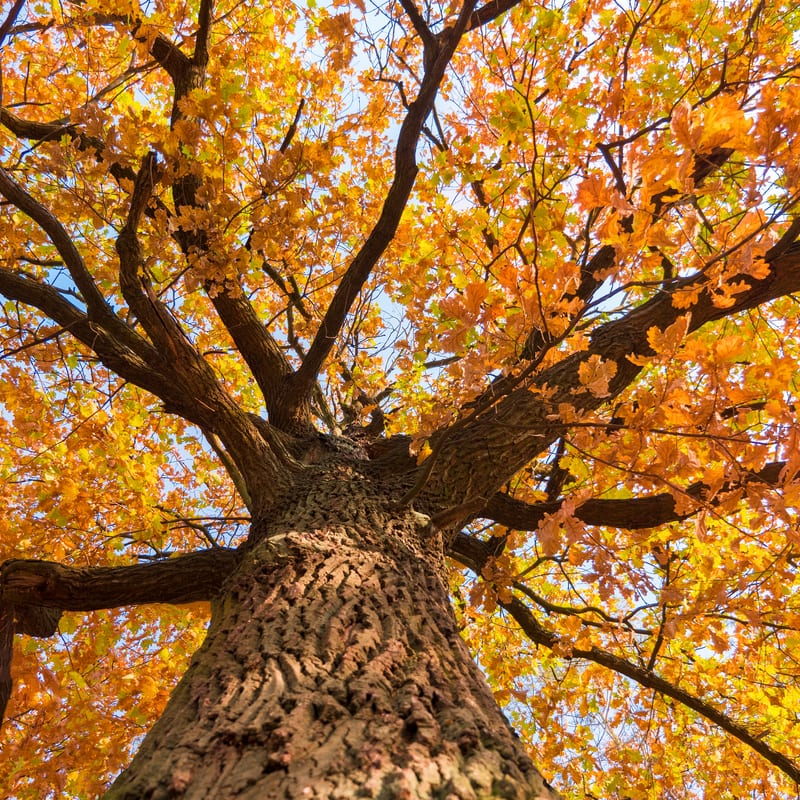 a large tree with orange fall leaves