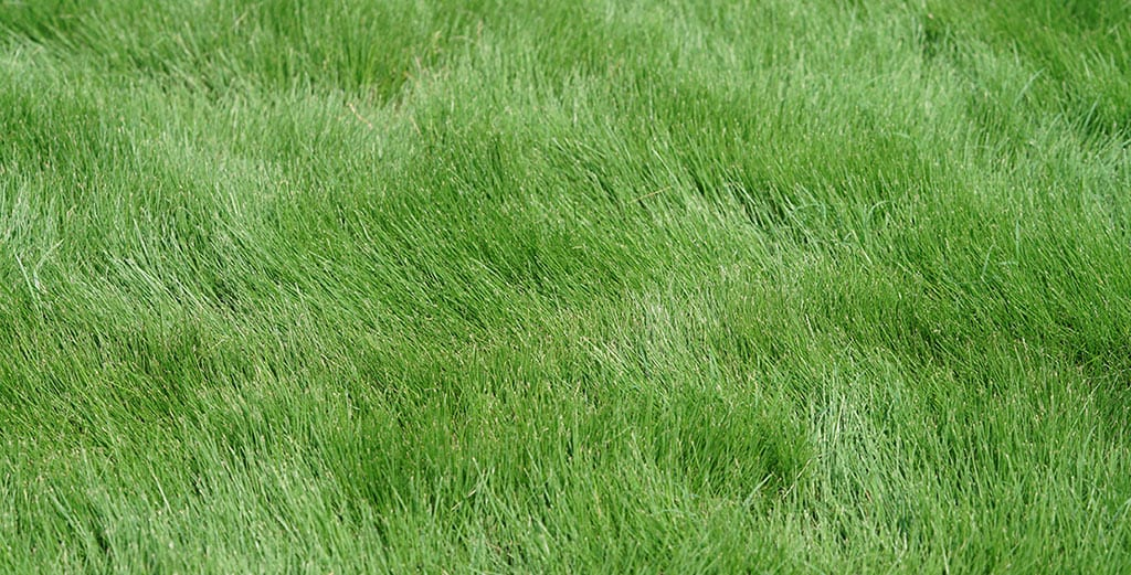 long, thick, healthy grass