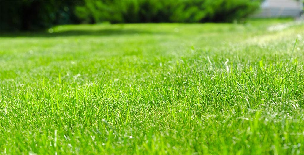healthy green grass in a field