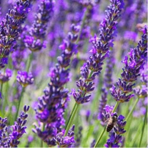 Planting mosquito-repelling plants, like lavender, is a great early spring mosquito prevention technique to free your Ohio and Florida lawns from annoying mosquitoes.