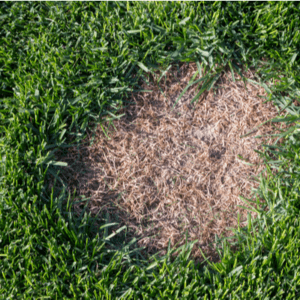 brown patch on lawn