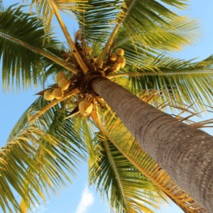 coconut in palm tree